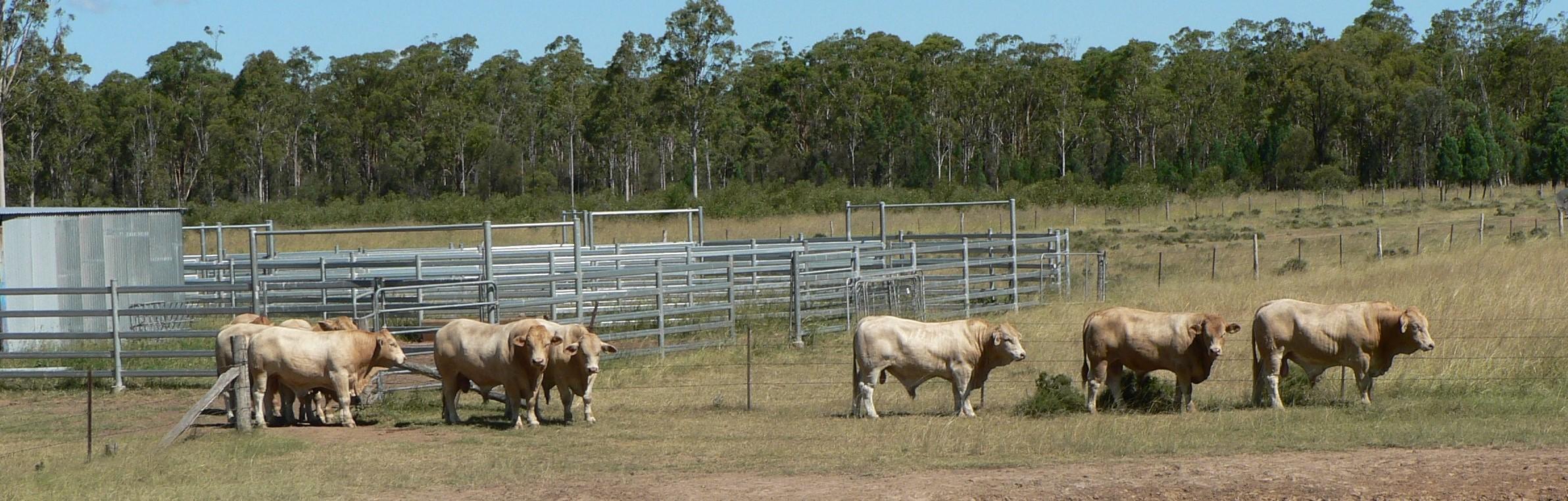 Wattlebray Bulls 2015